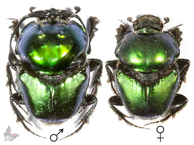 Proagoderus ramosicornis-Pair,unmounted beetle